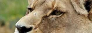 Si introducono di nascosto nella riserva, bracconieri finiscono sbranati dai leoni