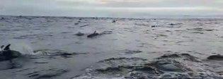 Spettacolo in mare aperto, enorme branco di delfini accompagna la barca di studiosi