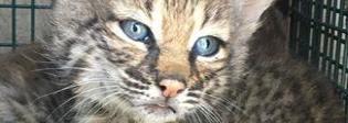 Salvano una cucciolata di gattini. Ma erano delle linci Foto