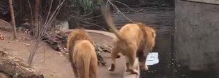 Il leone è troppo disinvolto, la svista del felino fa ridere tutto lo zoo