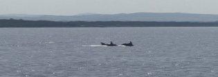 I delfini danzano davanti la costa di Montalto. L'Unitus: «Al largo non c'è più cibo»