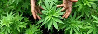 Incendia le piante di marijuana all'arrivo della polizia: arrestato