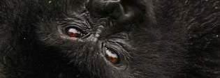 Congo autorizza trivellazioni nell'habitat dei gorilla di montagna: ambientalisti sul piede di guerra
