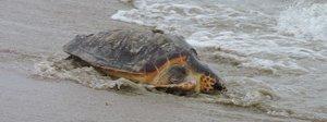 Muzio e Algida tornano in mare: libere le tartarughe caretta-caretta trovate ferite in spiaggia Foto