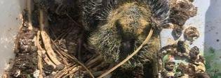 Ostia, piccoli di piccione gettati nel cassonetto: Enzo Salvi sente i richiami disperati e li porta al sicuro