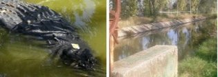 «C'è un coccodrillo nel canale»: gli strani avvistamenti a Maccarese