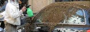 Vandali distruggono alveare: lo sciame delle api terrorizza la città