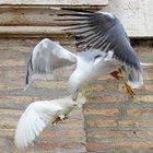 Bimba attaccata da un gabbiano: paura al Bioparco. «Uccelli attirati dai panini dei visitatori»
