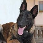 Scomparsa Raja, il cane eroe del terremoto di Ischia: salvò i fratellini sotto le macerie
