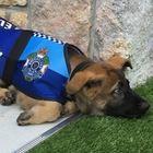 Troppo buono per fare il cane poliziotto, Gavel ottiene un altro lavoro